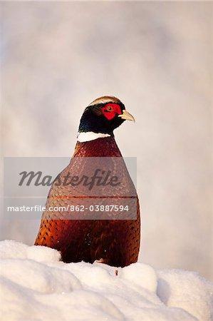 Au Royaume-Uni, dans le Wiltshire. Un faisan mâle en plumage complet se trouve sur une position de couverture recouverte de neige, attraper le soleil du matin.