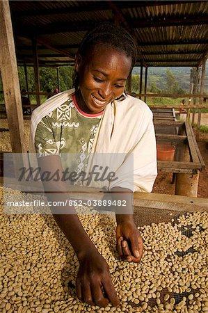 Rwanda. Une femme trie café lavé à la coopérative de Aromec.