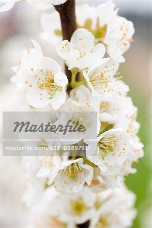 Fleurs de la cerise blanc
