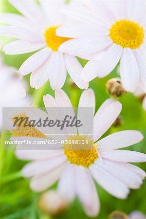 Marguerites leucanthème vulgaire (Leucanthemum vulgare)