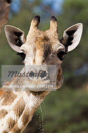 Giraffe, Nahaufnahme