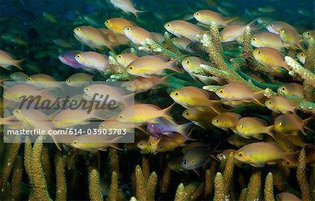 Scolarité anthias, récif corallien