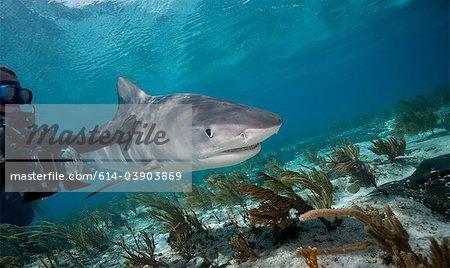 Plongeur touche Tiger shark