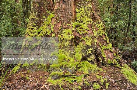 Moss on Tree Trunk, Tarkine, Arthur Pieman Conservation Area, Tasmania, Australia