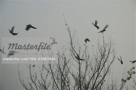 Silhouette der Vögel, Towong, Victoria, Australien