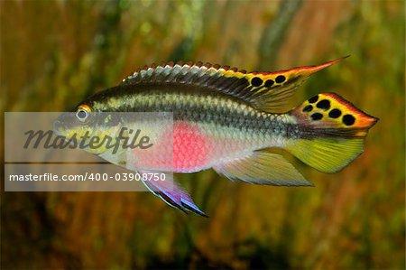 Colorful kribensis or purple cichlid (Pelvicachromis pulcher) from Nigeria