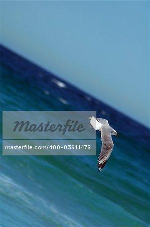 vol de mouettes, l'eau (l'océan) en arrière-plan, photo prise à Sydney,