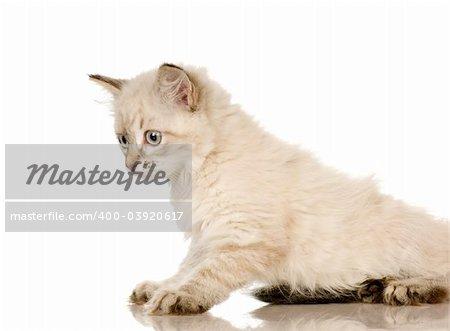 Blu-tabby-point Birman kitten in front of a white background
