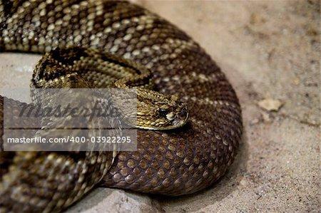 rattlesnake on the sand