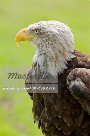 American bald eagle (Haliaeetus leucocephalus) portrait. Background blurred