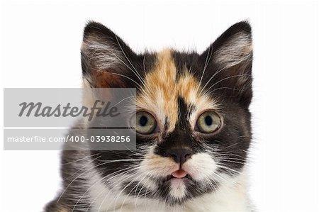 A portrait kitten on a white background