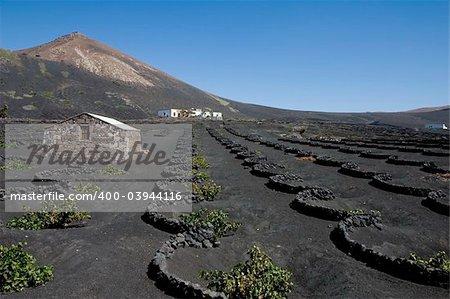 Typical vineyard in La Geria, Lanzarote, Canary Islands, Spain