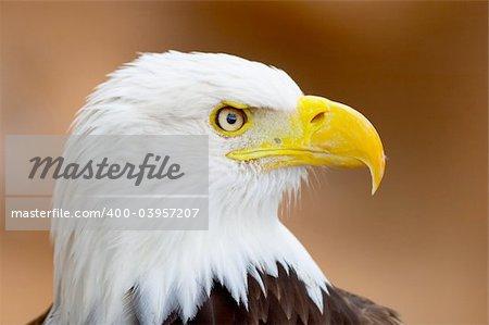 Bold eagle portrait