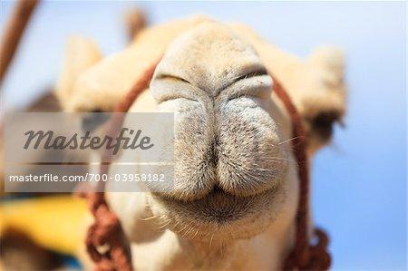 Nahaufnahme des arabischen Kamels, Essaouira, Marokko