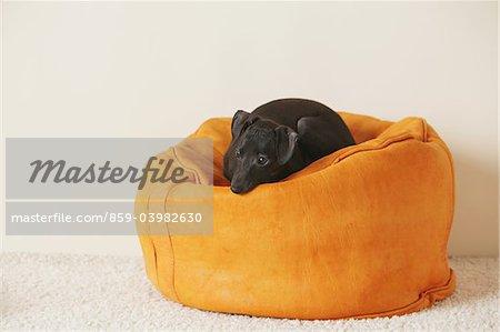 Italien chiot Greyhound se trouvant sur le pouf