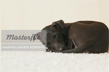 Italien chiot Greyhound dormir sur les tapis