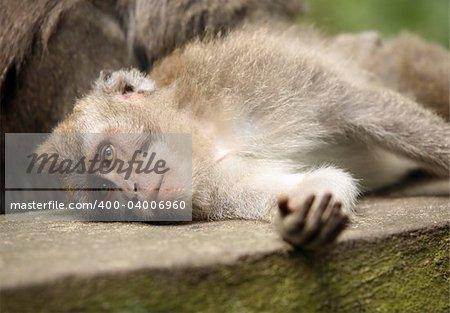 Monkey. Bali a zoo. Indonesia