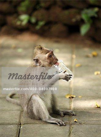 The child of monkeys with glass. Wood of monkeys. Indonesia. Bali