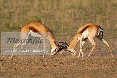 Two male springbok antelopes (Antidorcas marsupialis) fighting for territory, Kalahari desert, South Africa