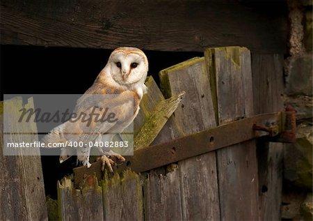 A Barn Owl captured on an old barn door in Wales, UK.