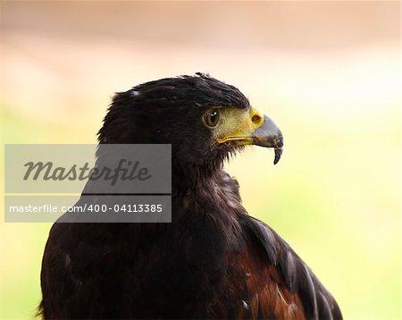 fine close up portrait of hawk nature background