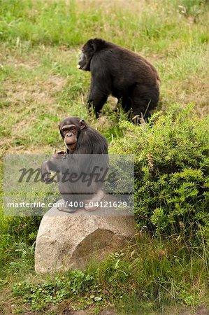 a chimp and a gorilla in a safari park
