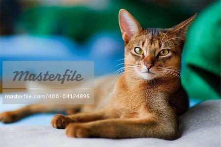 jeune chat abyssin en action