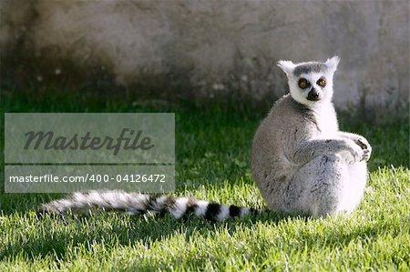 Madagascar Lemur under magical light, getting warm with sun