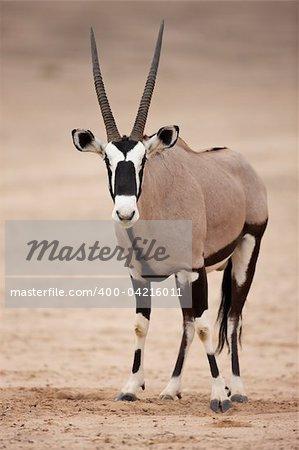 Gemsbok standing in the kalahari desert; oryx gazella;