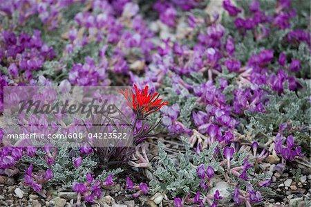 Fleurs sauvages, Parc National de Great Basin, Nevada, USA