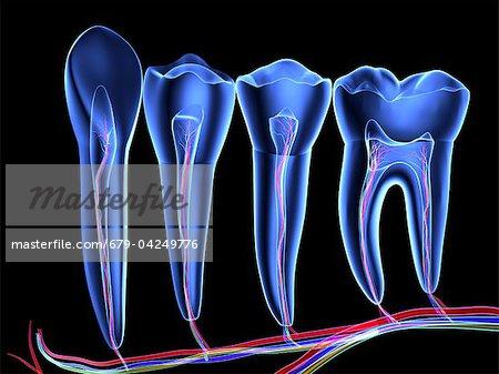 Zähne, Querschnitt