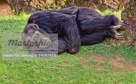 resting chimpanzee monkey on the ground (photo)