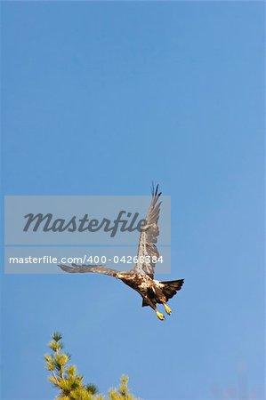 Wild Immature Bald Eagle Taking Off