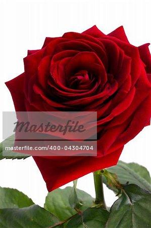 Velvet rose of red color on a white background