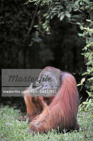 The adult male of the Orangutan. Portrait of the adult male of the orangutan in the wild nature. Island Borneo. Indonesia.