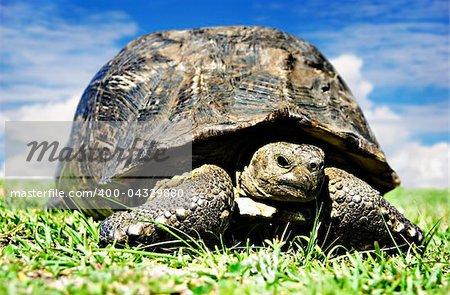 Mature tortoise walking on grass