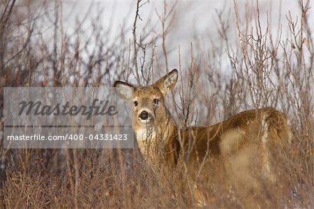 Whitetail Deer in Winter Saskatchewan Canada Cold freezing