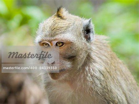 close-up monkey in jungles. Jawa, Indonesia