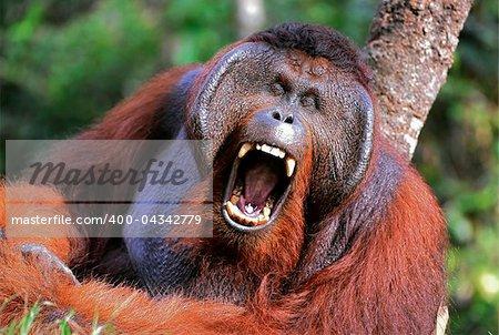 The male of the orangutan grimaces and yawns.. Portrait of the adult male of the orangutan in the wild nature. Island Borneo. Indonesia.
