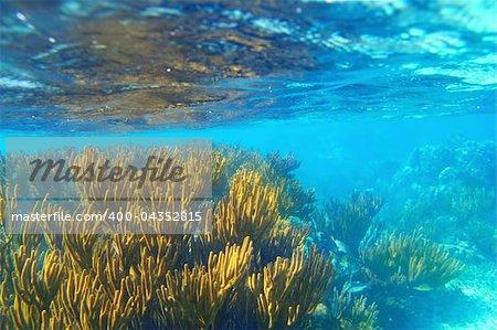 Mayan Riviera soft gorgonian reef seascape Mexico