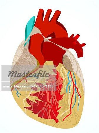 abstract human heart vector illustration
