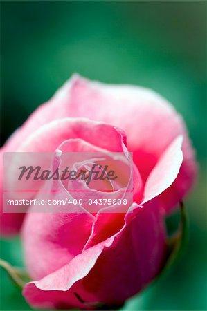 macro image beautiful close up white red rose