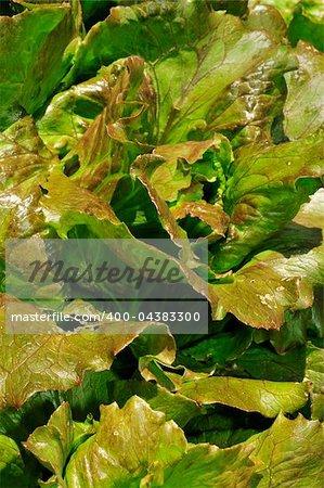 closeup of a lettuce on a kitchen-garden