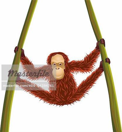 Orangutan hanging