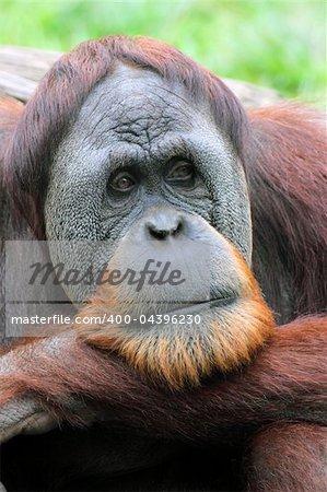 Orangutan looking pensive portrait