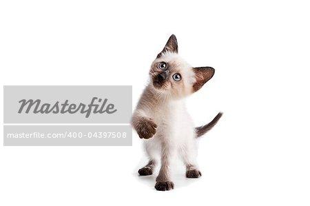 Funny playful siamese kitten on white background