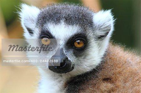 small head of very nice lemur monkey