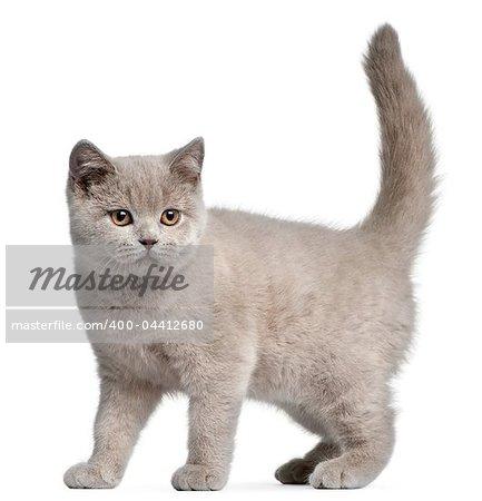British Shorthair kitten, 3 months old, in front of white background