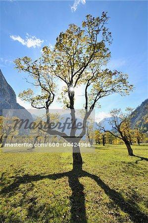 Érable en automne, Grosser Ahornboden, Karwendel, Eng, Tyrol, Autriche