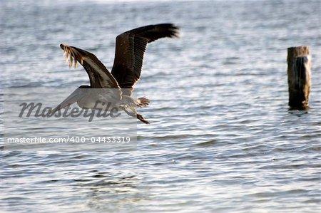 Pelicans feeding at sea at isla mujeres, Mexico
